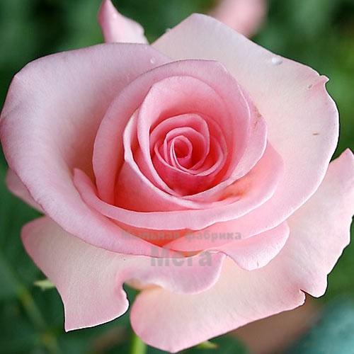 Купить  Воск Розы, 1 кг  в  Мыльная фабрика