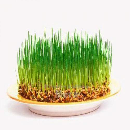 Купить  Гидролизат проросшей пшеницы, 25 мл  в  Мыльная фабрика