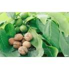 Купить  Ароматизатор для прикормки Орех, 1 литр  в  Мыльная фабрика